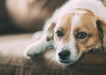 hond heeft diarree
