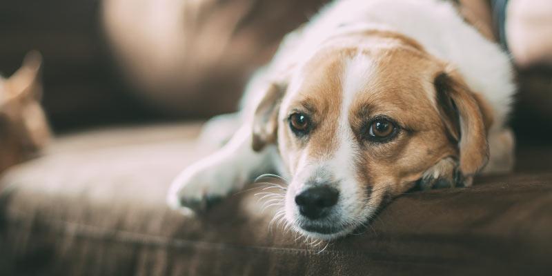 Hond Heeft Koorts Wat Doe Je Er Aan