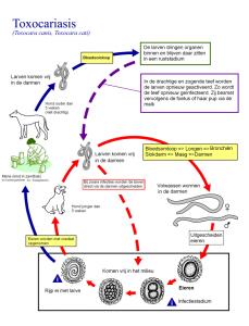 Levenscyclus van een hondenworm
