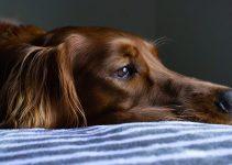 Rode Ogen Hond